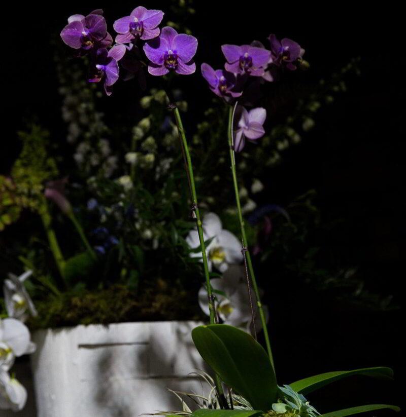 Purple orchids.